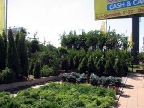 Plante arbusti Thuja Occ de la Sc Golden Garden Srl