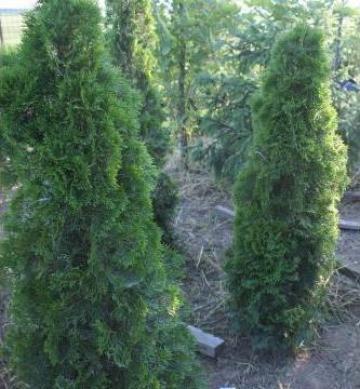 Arbust Tuia Smarald - 2 metri - mod 961 de la Floraria Stil