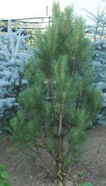 Copac Pinus Nigra - 1.8 metri - mod 938 de la Floraria Stil