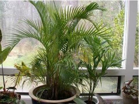 Plante de interior ghivece flori apartament livrare for Plante de interior