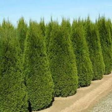Arbust Thuja occidentalis Smaragd de la Ars Topia Bt