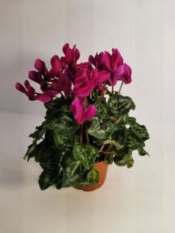 Planta ghiveci Cyclamen 0050 de la Floraria Stil